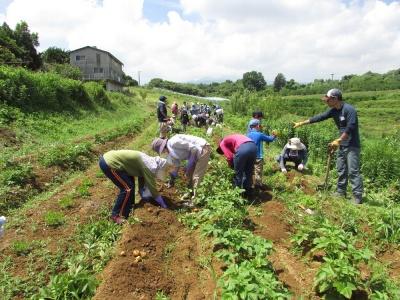 松本農園にてジャガイモの 収穫の様子